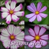 Cosmos - Bicolour Mix