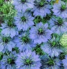Love-in-a-mist (Nigella) - Miss Jekyll Blue