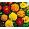 Marigold (French Marigold) - Sparky Mix