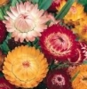Strawflower - Tall Mix