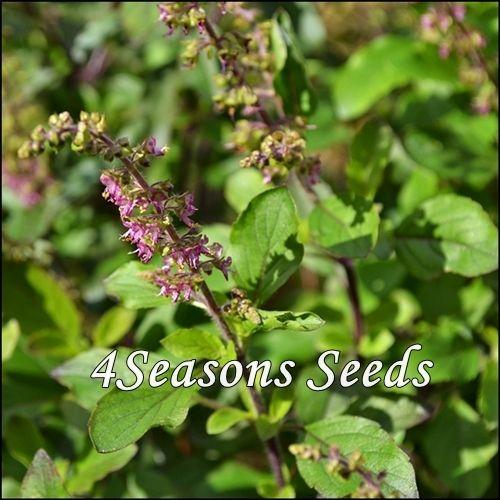 cooking - Thai herb 2000 Red Holy basil seed Ocimum sanctum
