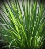 Lemon Grass - East Indian (Cymbopogan Flexuosus)