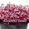 Microgreens - Amaranth - Red Garnet