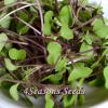 Microgreens - Kale - Red Russian