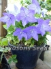 Balloon Flower - Dwarf Blue