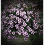 Thyme - Common Thyme (Winter Thyme)
