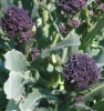 Broccoli - Purple Sprouting Broccoli
