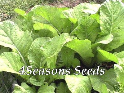 Growing Mustard Greens - How To Grow Florida Broad Leaf ... |Mustard Tree Leaf