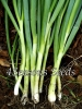 Bunching Onion - Evergreen