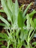 Water Spinach (Ong choy) - White Stem