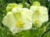Cobaea Scandens (Cathedral Bells Vine - White)