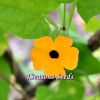 Thunbergia alata (Black-eyed Susan Vine Mix)