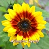 Sunflower - Solar Flash F1