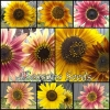 Sunflower - Evening Sun Mix
