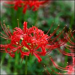 Red Spider Lily (Lycoris radiata)