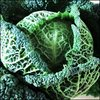 Cabbage - Green Savoy