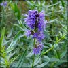 Hyssop - Blue Flowered