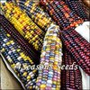 Corn - Fiesta (Ornamental Corn)
