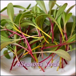 microgreens-silverbeet-rainbow mix