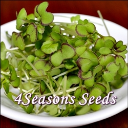 microgreens-mustard-red giant